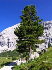 Zirbe (Pinus cembra), Naturschutzgebiet Wettersteingebirge, Deutschland - Arolla pine (Pinus cembra), Wettersteingebirge Nature Reserve, Germany von botanikfoto