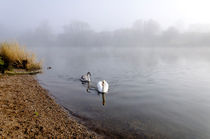 Mute Swan and Cygnet on the Misty River von Rod Johnson