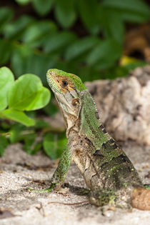 Green Iguana at the beach by Craig Lapsley