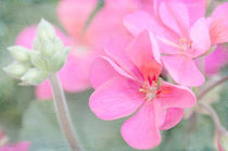 Pink Geraniums von Betty LaRue