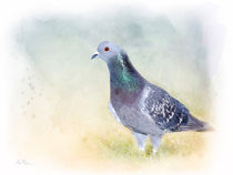 Rock Dove Feral Pigeon by Betty LaRue
