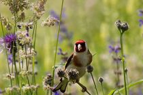 Colorful Distel Finch in Summer  by mateart
