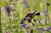 Natural Art - Distel Finch (European Gold Finch) von mateart
