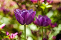 050612-multi-purple-tulip-flip-00