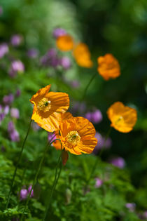 050612-orange-welsh-poppy-00