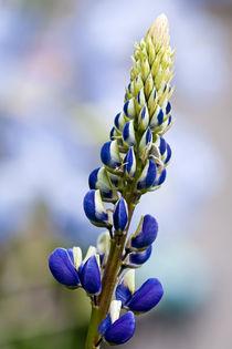 052513-blue-lupine-00