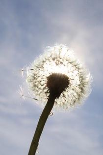 Pusteblume im Sonnenlicht (02) by Karina Baumgart