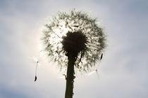 Pusteblume im Sonnenlicht (04) von Karina Baumgart