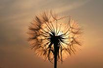 Bocksbart im Licht der untergehenden Sonne (02) by Karina Baumgart