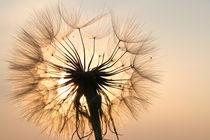 Bocksbart im Licht der untergehenden Sonne (01) by Karina Baumgart