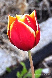 Tulpe, Blumen, Blüten von shark24