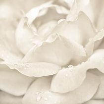 Rose von perfectlazybones
