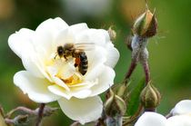 beeauty six - bee on white rose with florals by mateart
