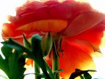 Anemone Orange Petals ..  by bebra