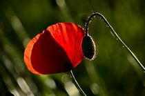 Field Poppy by Andreas Birkholz