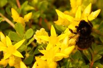 bumblebee in yellow paradise von mateart