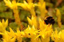 Bumblebee leaving yellow paradise von mateart