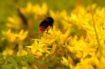 Bumblebee over yellow paradise von mateart