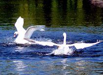 Swans posing - Posierende Schwäne von mateart