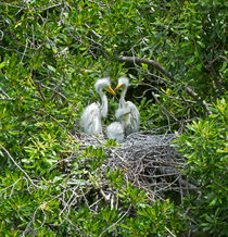 Great Egret Chicks von Louise Heusinkveld