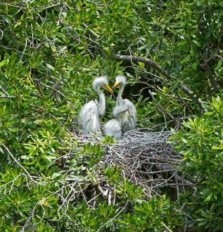 Egret-chicks0400