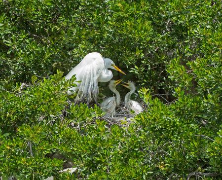 Egret-chicks0401