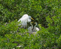 Great Egret with Chicks on the Nest by Louise Heusinkveld