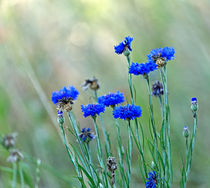 Blue Cornflowers by Louise Heusinkveld