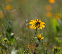 Wildflower-meadow0366