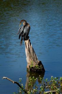 Anhinga Grooming Feathers II by Louise Heusinkveld