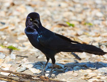 Boat-tailed Grackle by Louise Heusinkveld