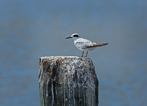 Forsters-tern0396