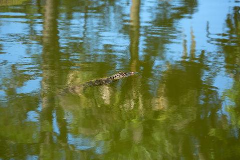 Gator-swimming0359