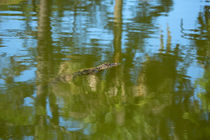 Gator Swimming von Louise Heusinkveld