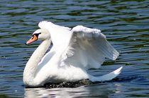 Beautyful-swan