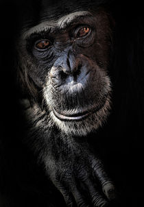 Portrait of a chimpanzee by Sheila Smart