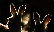 Kangaroos-backlit