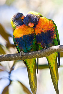 Rainbow lorikeet lovers von Sheila Smart