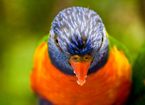 Rainbow lorikeet by Sheila Smart