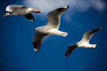 Three silver gulls by Sheila Smart