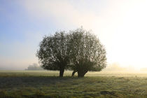 Herbstlandschaft mit Kopfweiden im Nebel 12 von Karina Baumgart