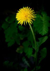 Dandelion von aremak