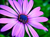 Colorburst Daisy by Christine Chase Cooper