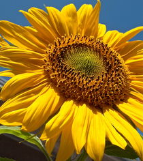 Sun Loving Sunflower  von Christine Chase Cooper