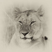 Lioness II by Ralph Patzel