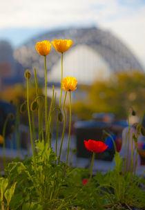 Poppies with Sydney Harbour Bridge in backdrop von Sheila Smart