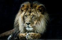 Magnificent lion von Sheila Smart
