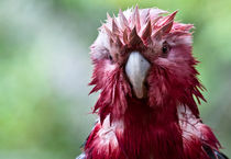 Wet galah by Sheila Smart