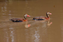 black bellied whistling ducks by Craig Lapsley