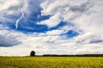 Getreidefeld und blauer Himmel mit weißen Wolken im Sommer by Matthias Hauser